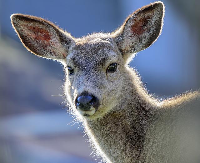 backyard deer @ 550mm