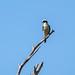Laughing Falcon (Herpetotheres cachinnans) por Chub G's M&D