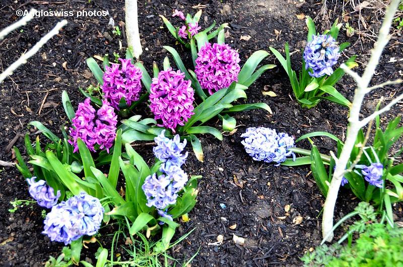 Hyacinths 2015