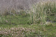 wetland(0.0), swamp(0.0), woodland(0.0), shrub(0.0), flower(0.0), phragmites(0.0), lawn(0.0), prairie(1.0), grass(1.0), plant(1.0), chrysopogon zizanioides(1.0), flora(1.0), natural environment(1.0), meadow(1.0), vegetation(1.0), grassland(1.0), marsh(1.0), bog(1.0),