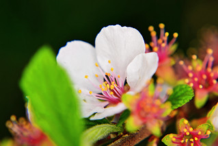 Chinese Bushberry (Prunus Japonica) : ニワウメ(庭梅)