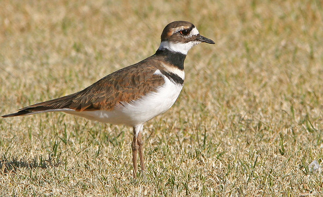 Killdeer 20d _8765
