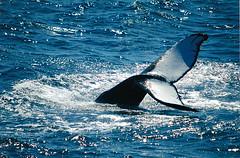 Humpback whale Cape Cod.