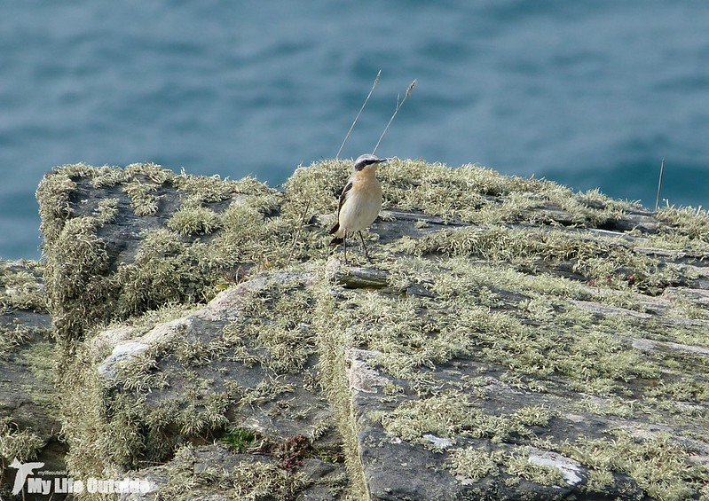 P1110464 - First Wheatear of 2015