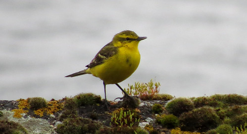 Yellow Wagtail Motacilla flava flavissima Tophill Low NR, East Yorkshire April 2015