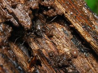 Paranemastoma quadripunctatum - juveniles