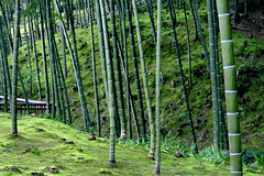 woodland, branch, bamboo, tree, plant, old-growth forest, grove, green, forest, trunk, natural environment, plant stem, biome, temperate broadleaf and mixed forest, temperate coniferous forest,