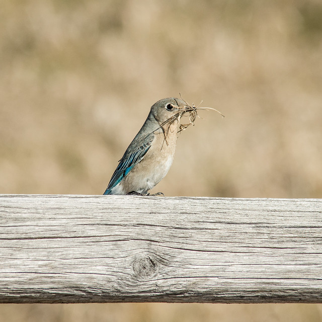 mountain bluebird (female)