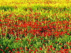 Poppies - Ashgabat District, Turkmenistan (19.04.2015)