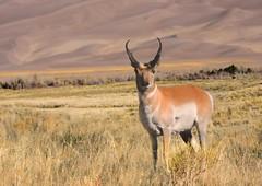 animal, prairie, antelope, plain, mammal, horn, waterbuck, fauna, pronghorn, savanna, grassland, safari, gazelle, wildlife,