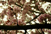 20150412-K_Monks Kirby Daffodil Festival 2015_Cherry Blossom