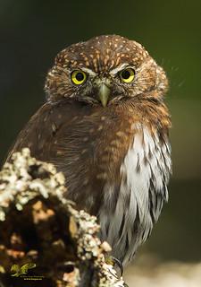 Just a Juvi? (Northern Pygmy Owl)
