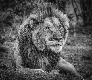 King! Maasai Mara Kenya