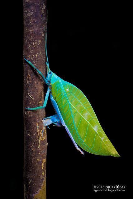 Leaf-mimic katydid ovipositing (Tettigoniidae) - DSC_7629