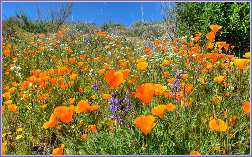 flowers flower poppies hemet wildflowers lupine californiapoppy