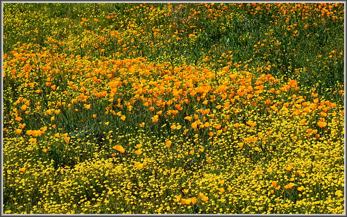 california flowers golden southern poppies hemet wildflowers eschscholzia californiapoppy californica goldfields