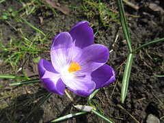 crocus, flower, purple, plant, nature, macro photography, wildflower, flora, petal,