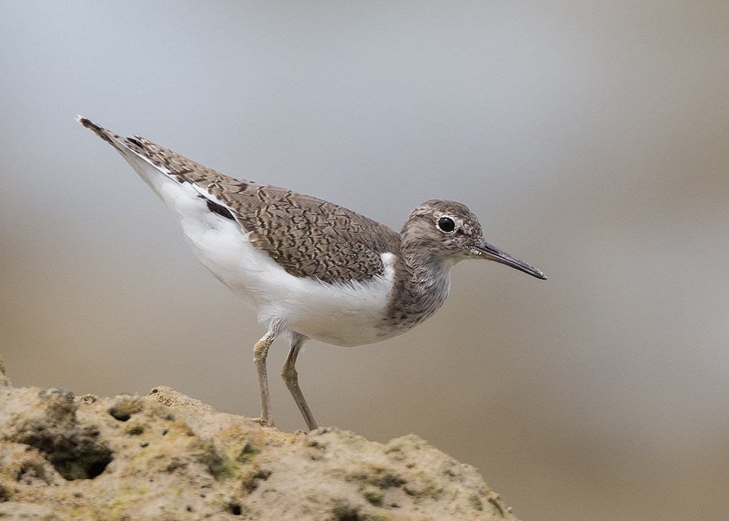 Common Sandpiper   Thailand