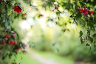 Camellia Valley