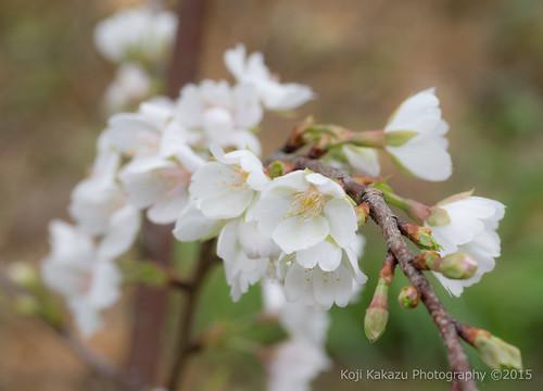クメノサクラ 2015 | Okinawa, Japan 11