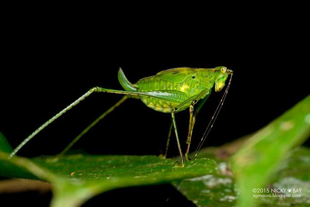 Katydid (Tettigoniidae) - DSC_3440