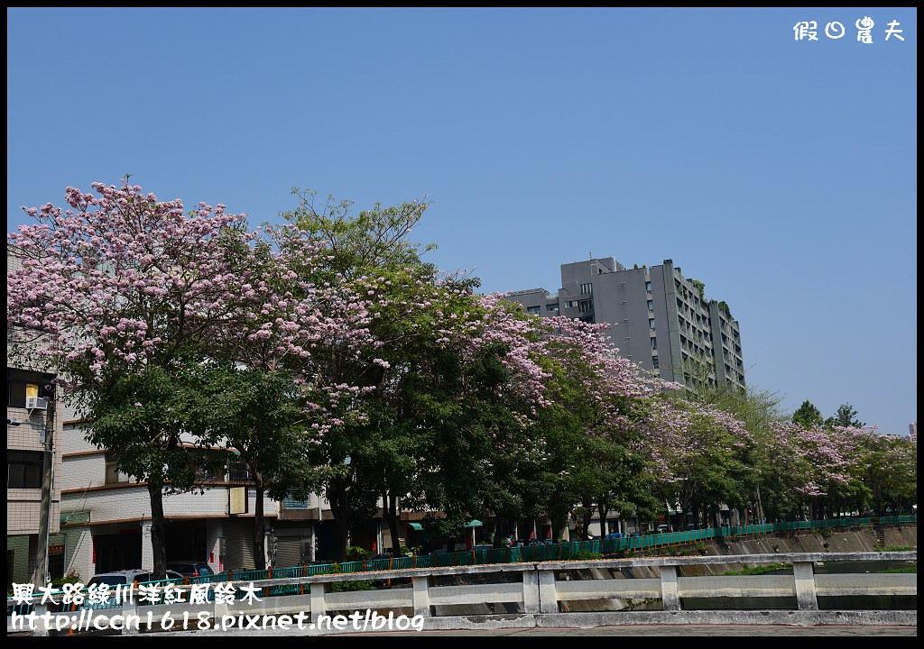 興大路綠川洋紅風鈴木DSC_2237