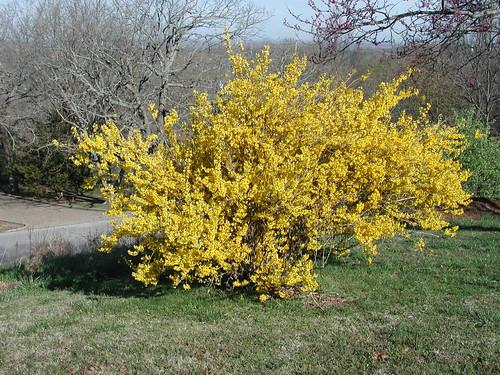 Forsythia intermedia 'Lynwood Gold' 3 28 3