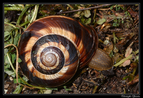 Escargot turc (Helix lucorum)