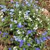 #vergissmeinnicht weiss und blau beim Spazierengehen im Wald