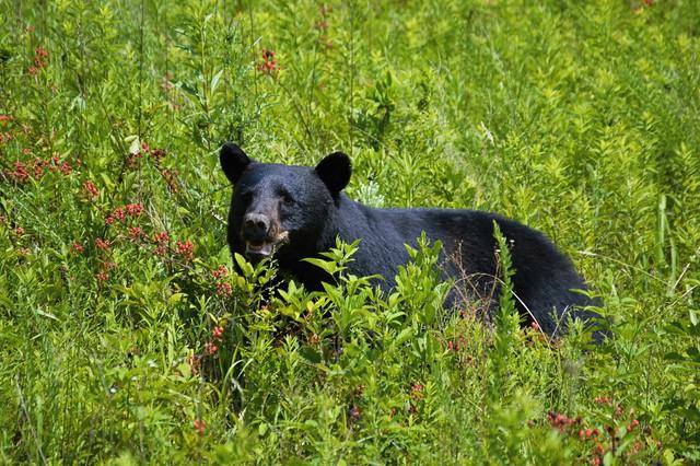 Black Bear in Cades Cove