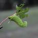 Laothoe populi (Linnaeus, 1758) - L5 caterpillar