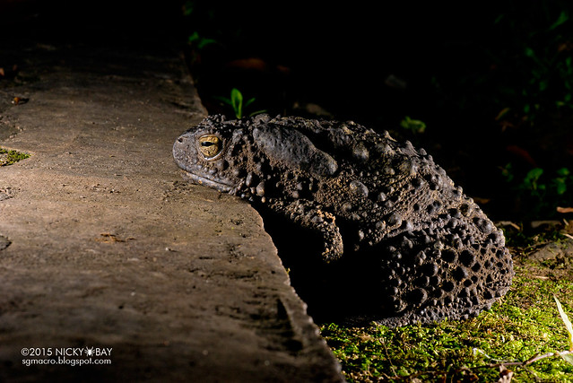 Giant river toad (Phrynoidis juxtasper) - DSC_5312