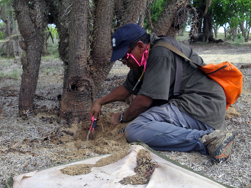 Ant collecting in Tuliar