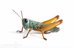 The amazing colour changing grasshopper