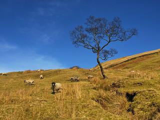 mountain sheep tree