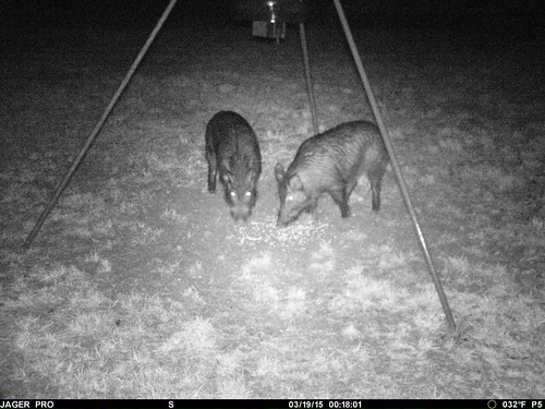 Feral Hogs-Armes1
