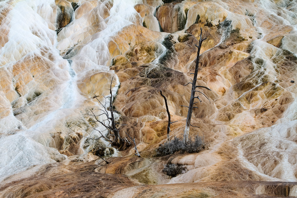 Several dead trees stand inside Mammoth Hot Springs