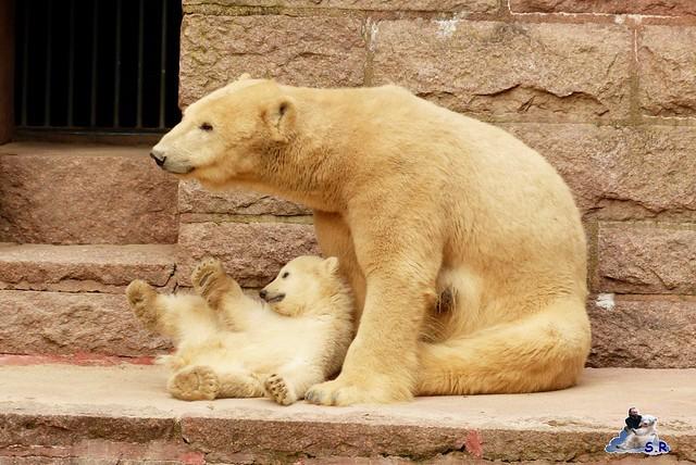 Zoo Rostock Eisbären 28.03.2015  106