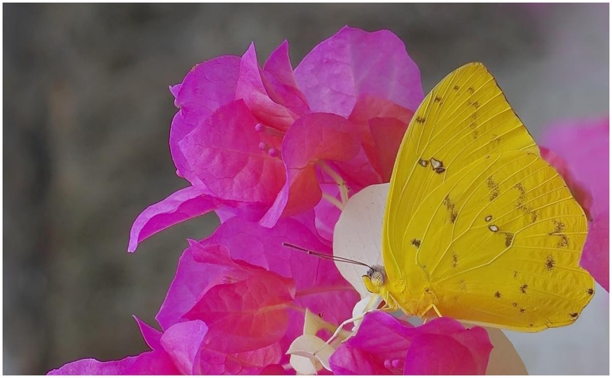 Papillons en Fêtes 2015 16803998647_9b3c54db2c_o