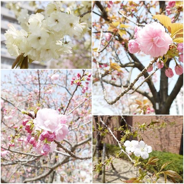 201204關西-D4-127櫻花大集合2