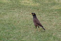 animal(1.0), fauna(1.0), common myna(1.0), beak(1.0), bird(1.0), wildlife(1.0),