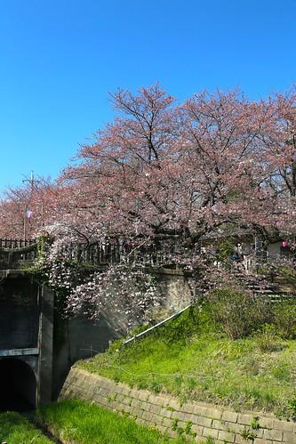 桜開花前2