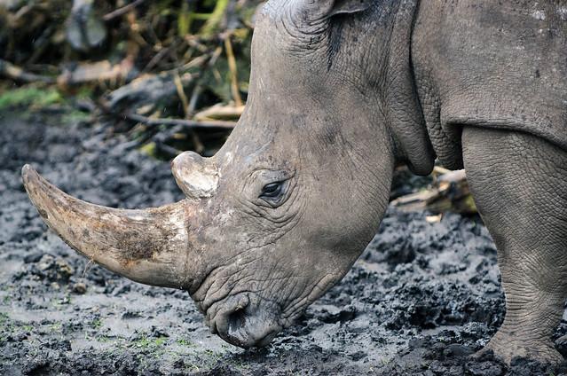 Tierfoto vom Nashorn