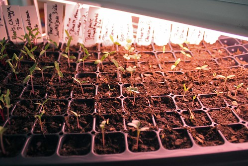 tomato seedlings IMG_2236