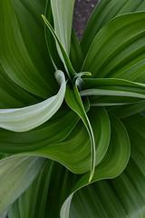 VERATRUM album 'Lorna's Green'