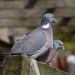 Woodpigeons on love seat by Mukumbura