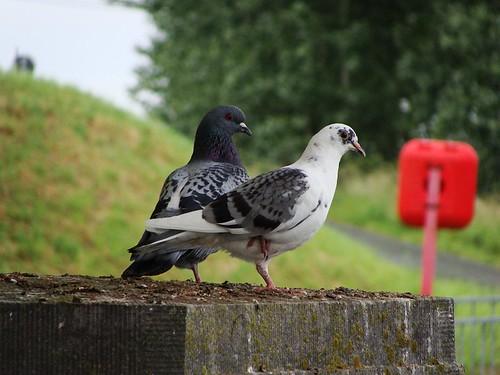 Pigeons - 1