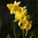 Narcissus assoanus, Duilhac sous Peyrepertuse