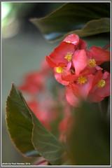 summer begonias