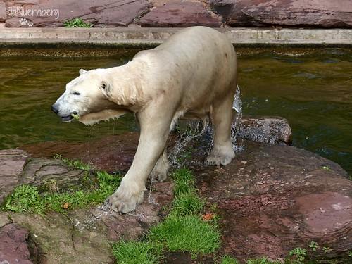 Vera - Charlotte - Eisbären - Tiergarten Nürnberg